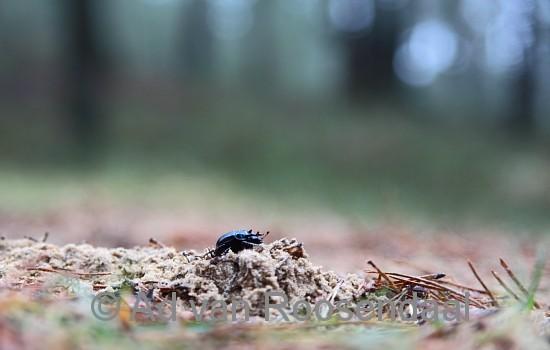 Driehoorn-mestkever