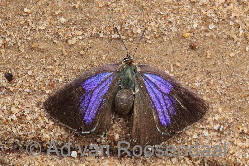 Verdronken vlinder