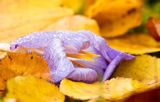Boerencrocus